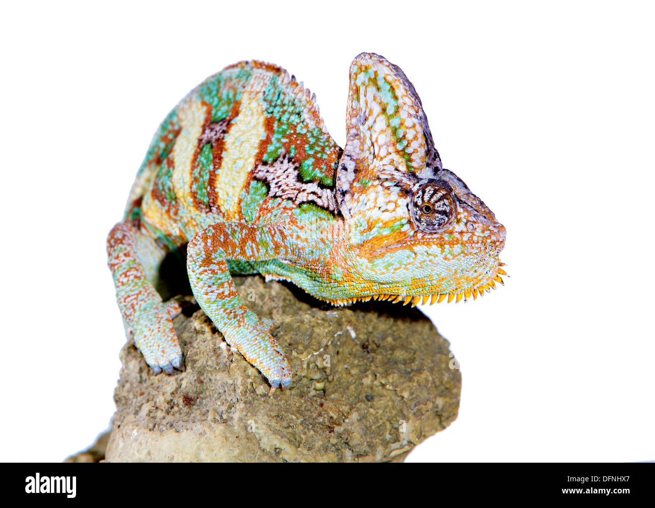 yemen chameleon in a host of artificial white background Stock Photo