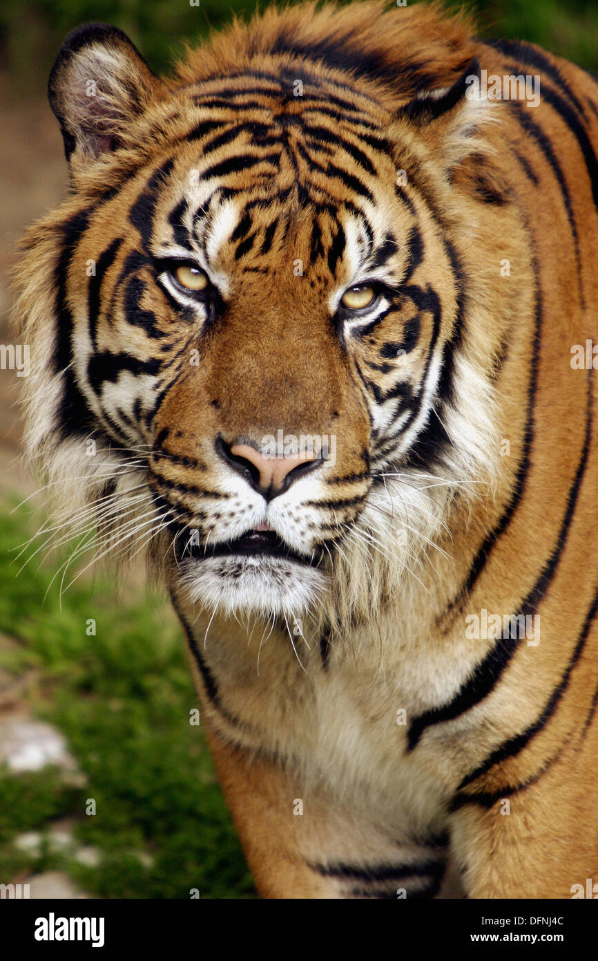 close up of a tigers face los angeles zoo stock photo 61326172