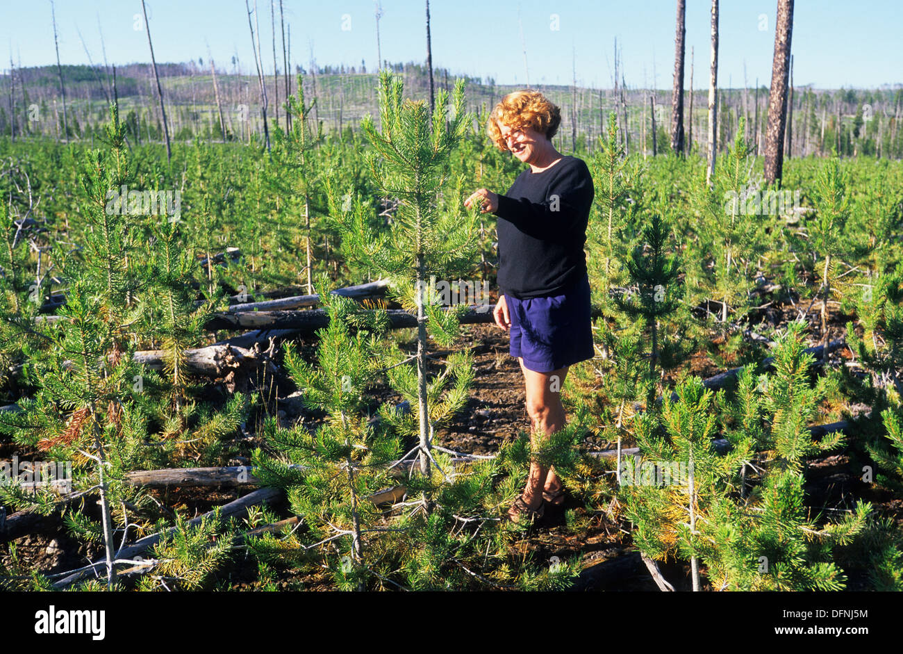 Elk265-1674 Wyoming, Yellowstone National Park, woman examining forest regrowth after 1988 fire - Stock Image