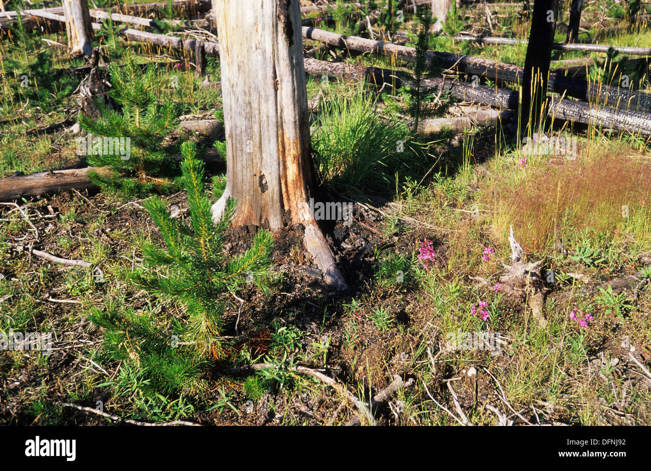 Elk265-1678 Wyoming, Yellowstone National Park, forest regrowth after 1988 fire - Stock Image
