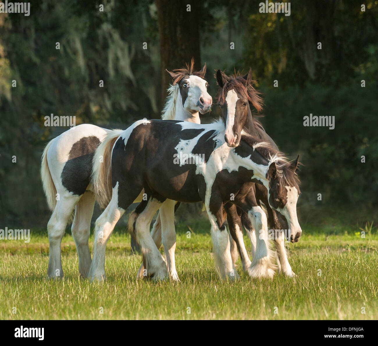 Gypsy weanling horse foals - Stock Image