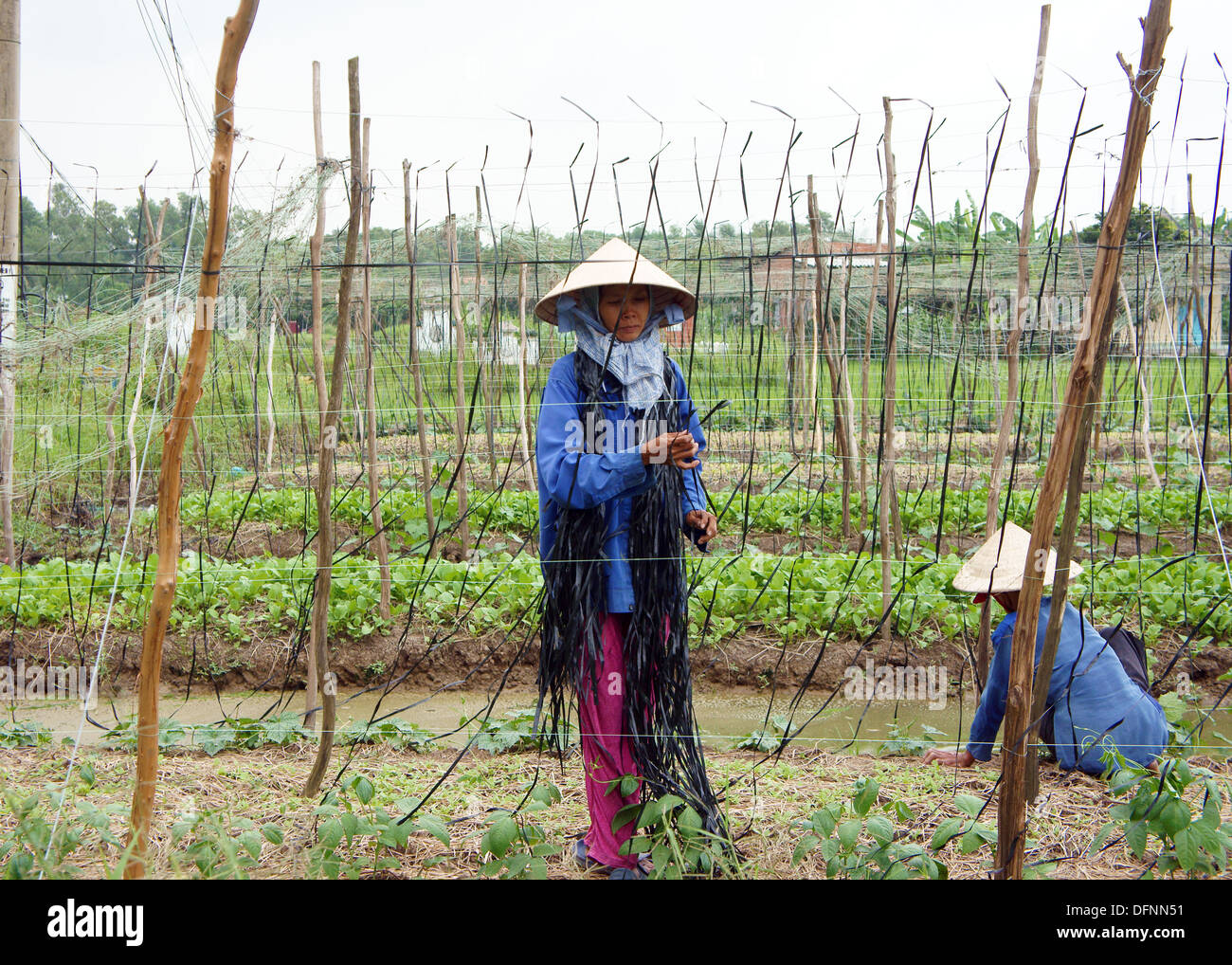 e22c97313c3 Women wear conical straw hat bind string into frame where chinese pea can  climd on it at farmland. October 14