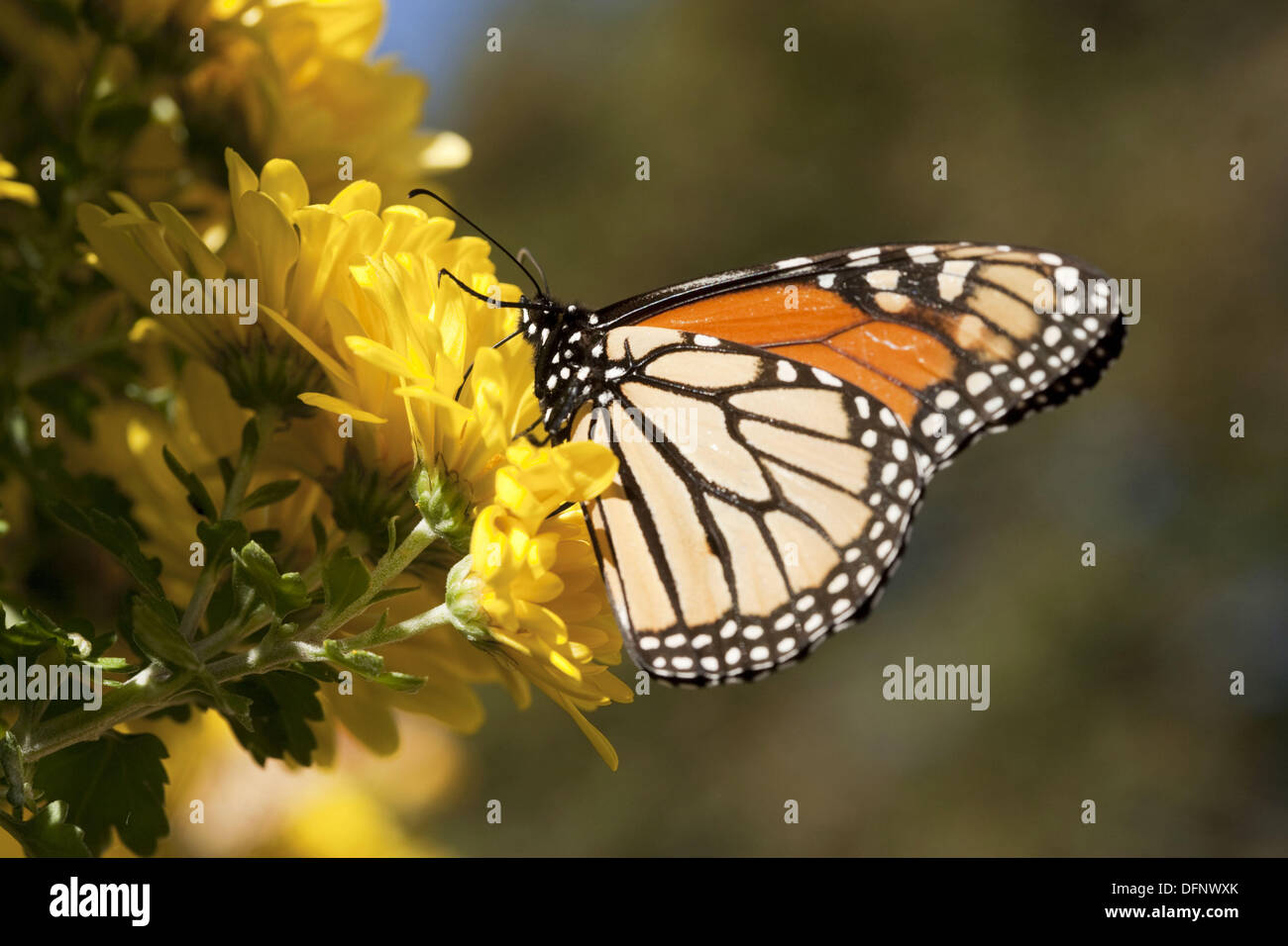 Monarch butterfly at Arena Farms, Concord, Massachusetts, USA - Stock Image