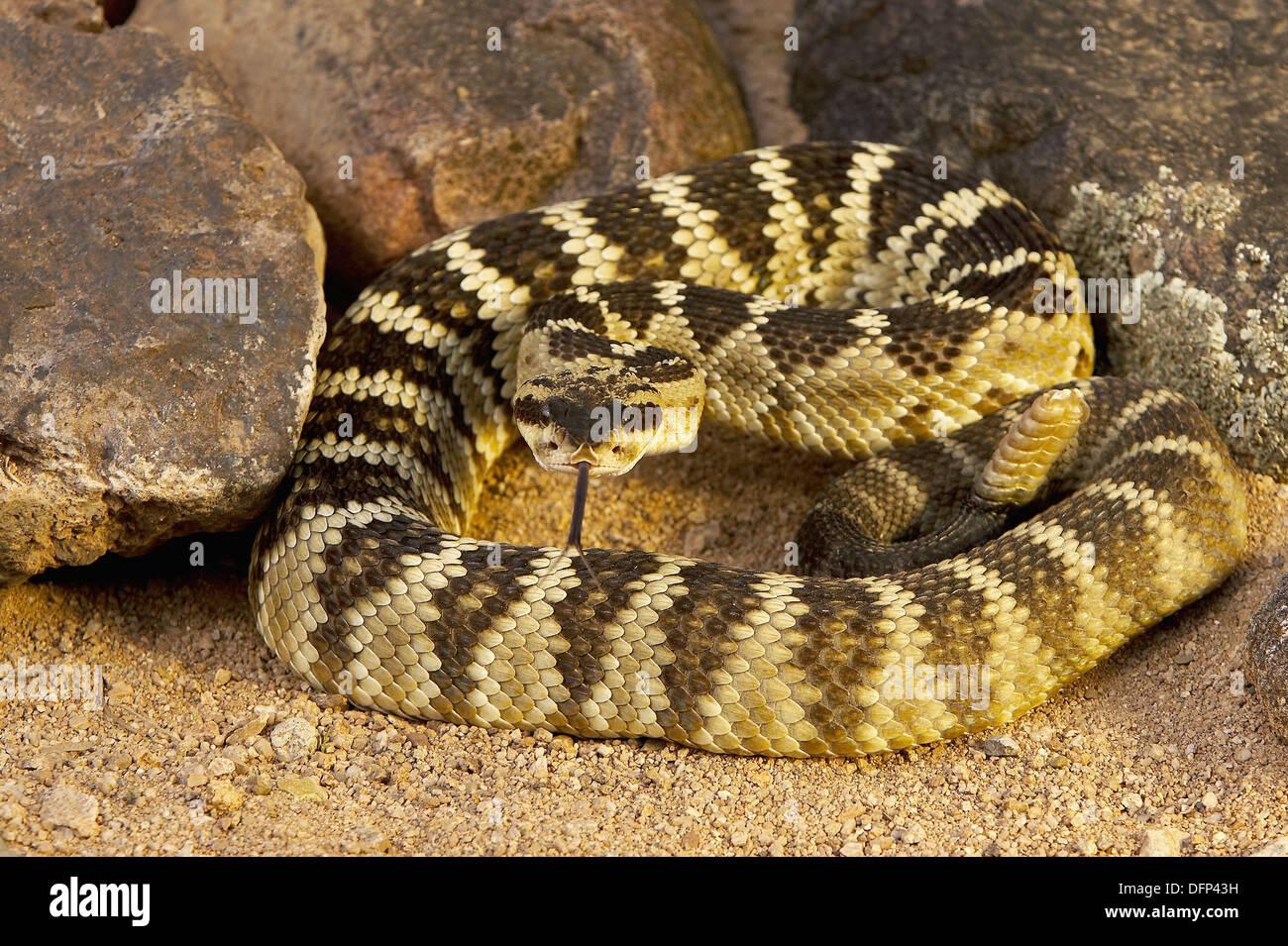 Black-tailed Rattlesnake Crotalus molossus Stock Photo