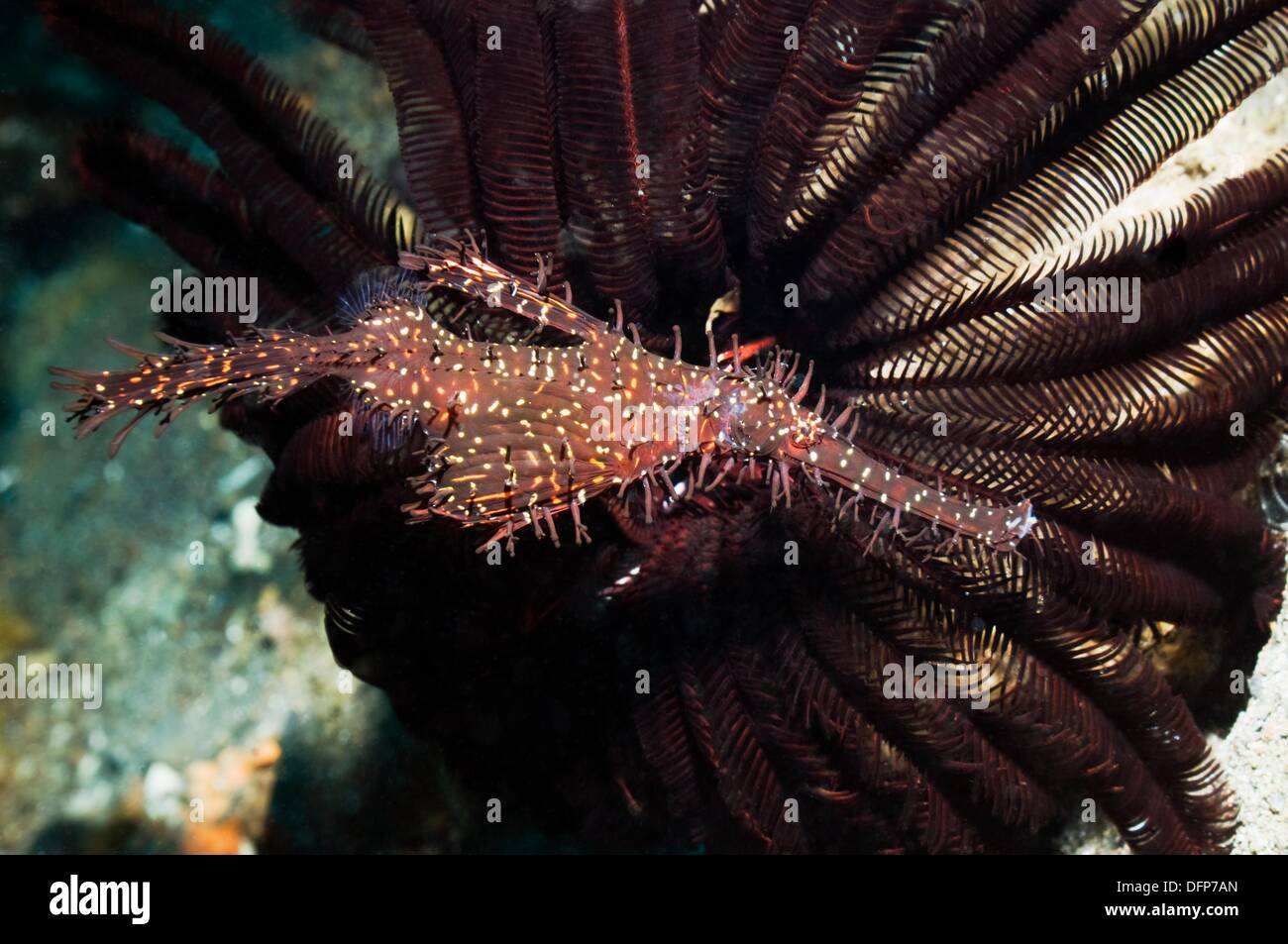 Ornate ghostpipefish Solenostomus paradoxus with featherstar  Rinca, Komodo National Park, Indonesia - Stock Image