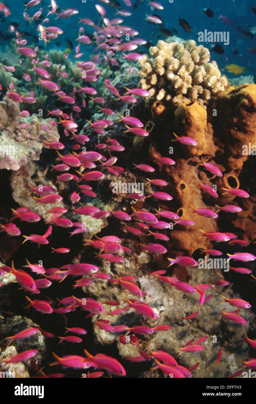 Purple Queen fish (Pseudanthias tuka) and coral reef. Indonesia Stock Photo