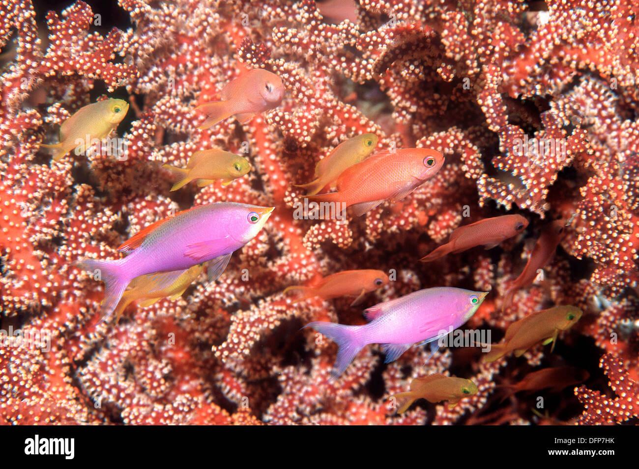 Purple Queen Fish (Pseudanthias tuka) with gorgonian or sea fan. Stock Photo