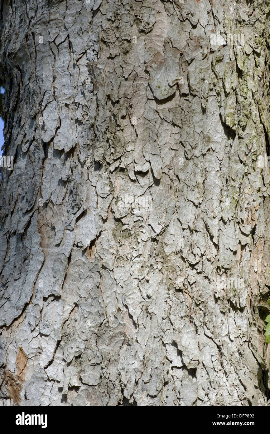 sycamore maple, acer pseudoplatanus Stock Photo