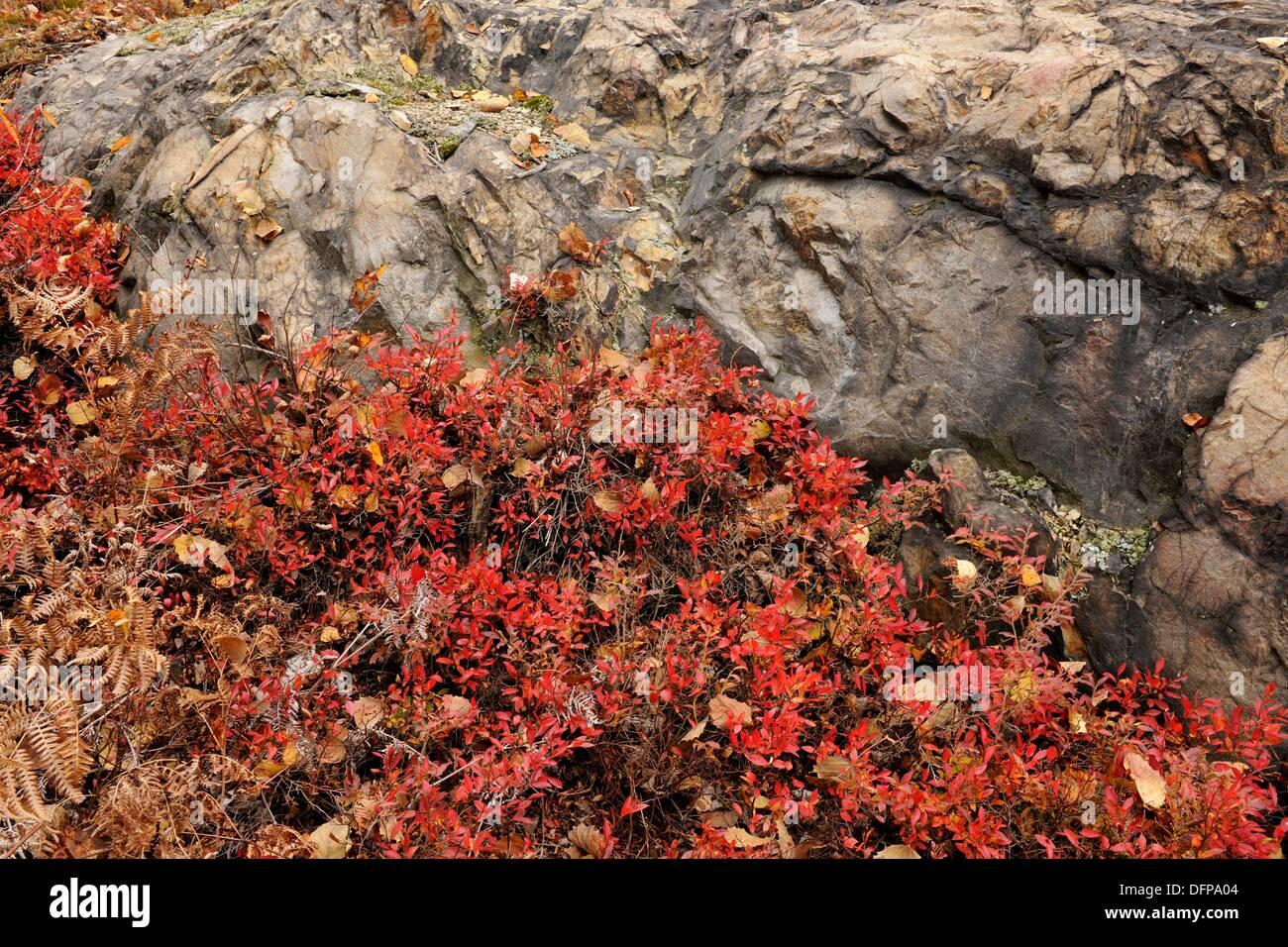 Lowbush Blueberry Vaccinium angustifolium autumn leaves Greater Sudbury Ontario - Stock Image