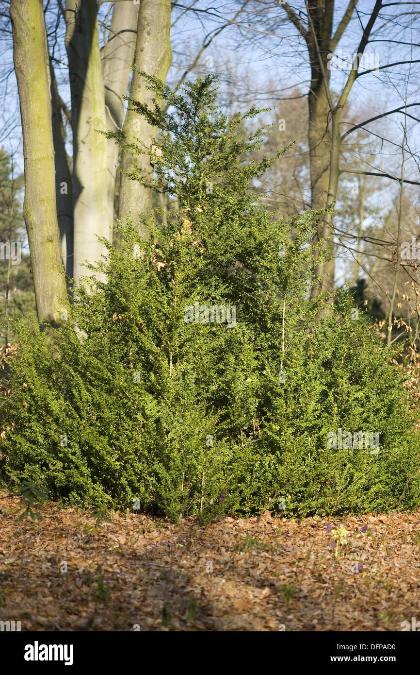 common box, buxus sempervirens Stock Photo