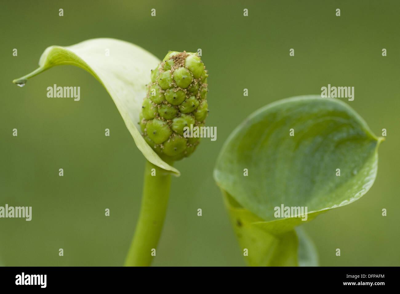 water arum, calla palustris - Stock Image