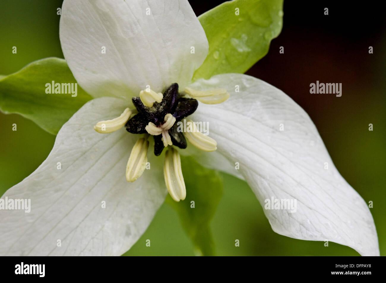 Sweet white trillium (Trillium simile) - Stock Image