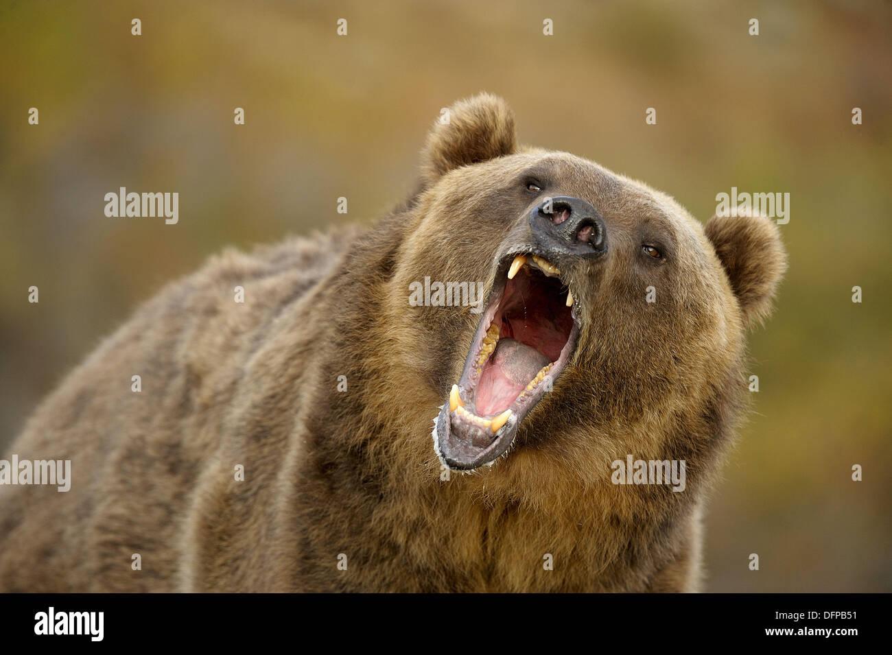 Grizzly bear Ursus arctos- captive snarling Stock Photo
