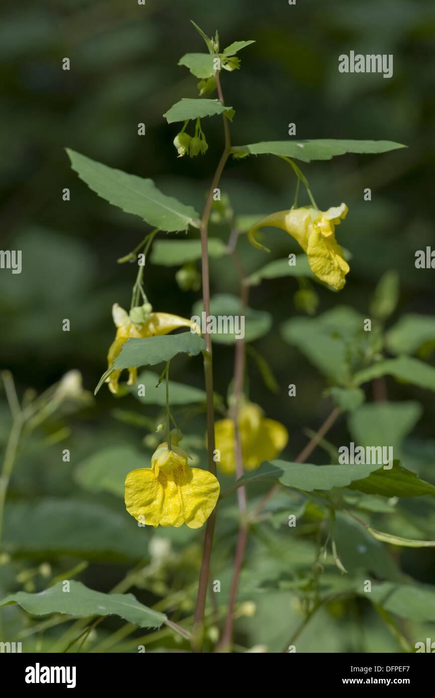 spring-balsam, impatiens noli-tangere Stock Photo