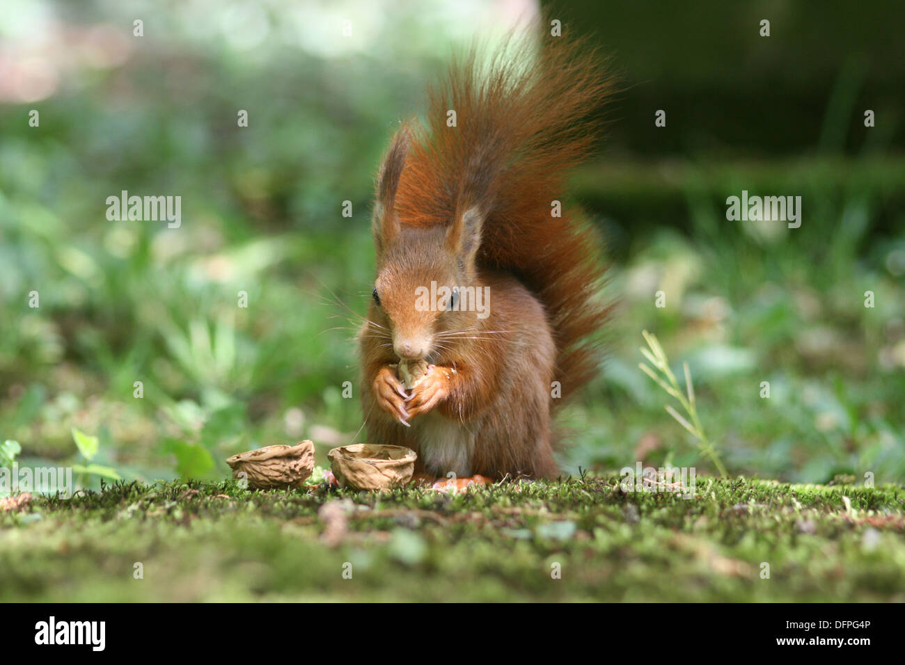 European red squirrel with cracked walnut - Stock Image