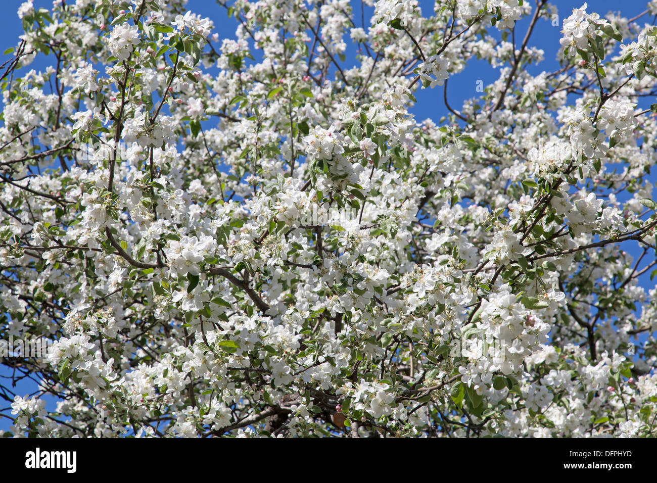 Ornamental Peach Tree Stock Photos Ornamental Peach Tree Stock