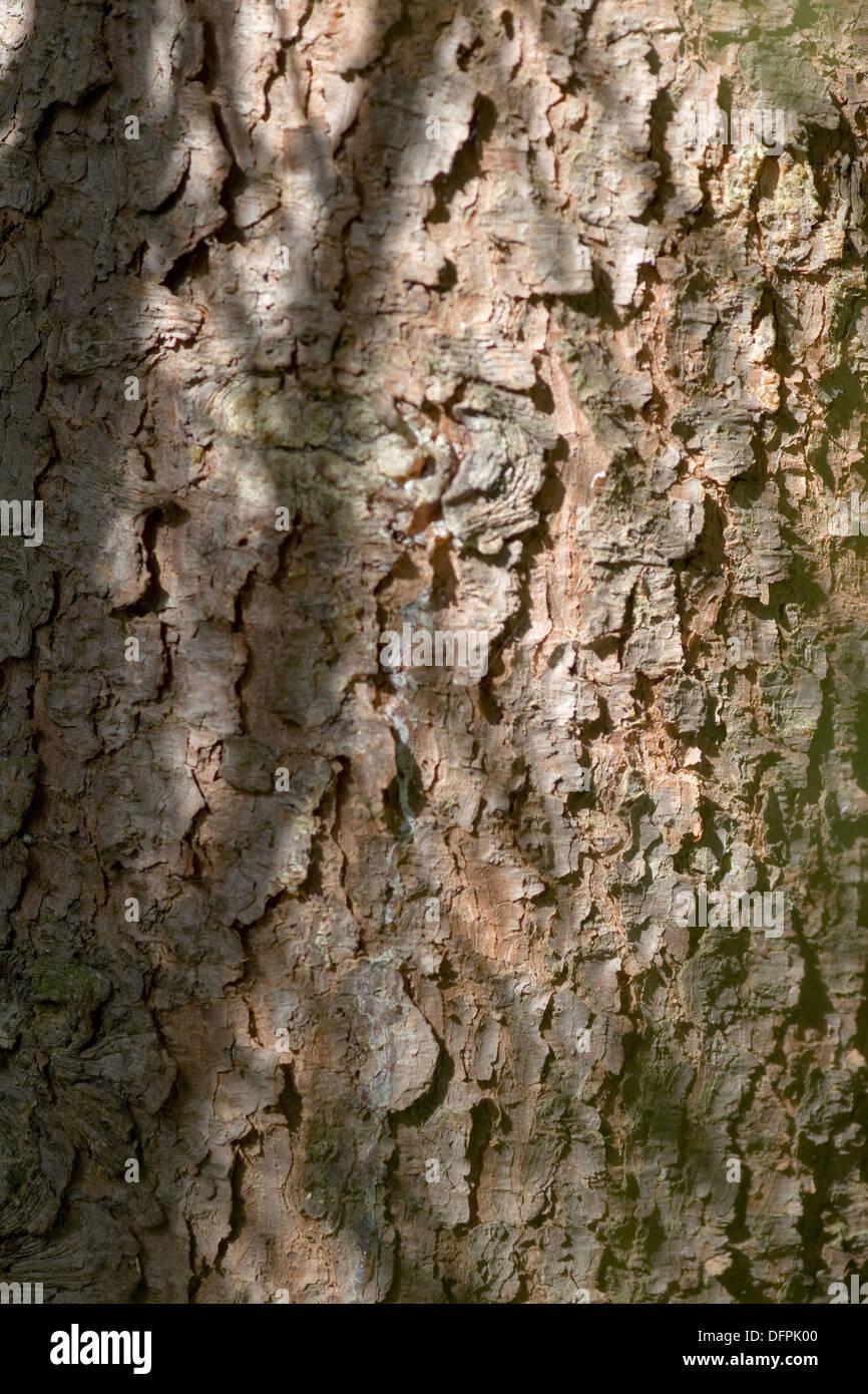 serbian spruce, picea omorika - Stock Image