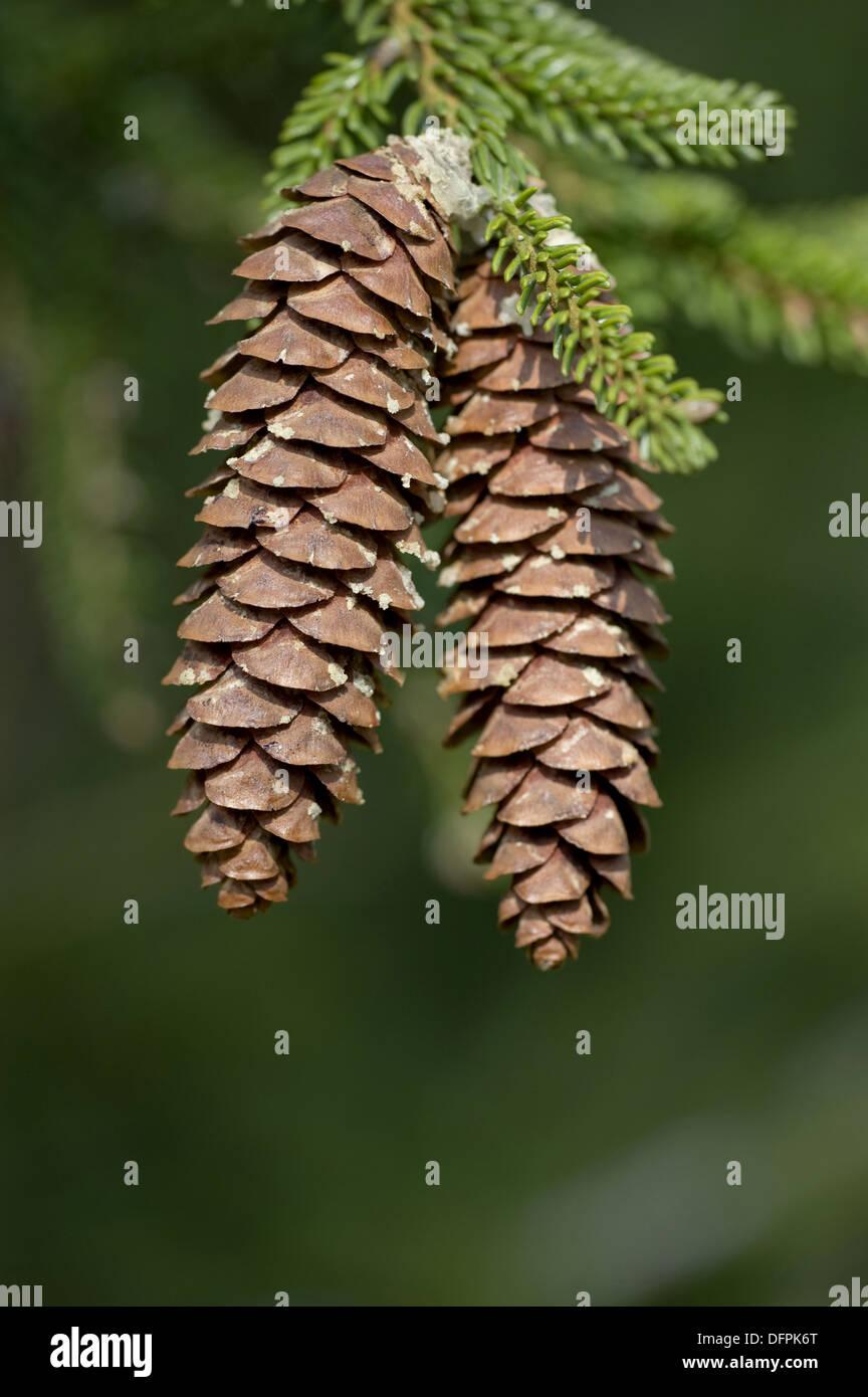 caucasian spruce, picea orientalis - Stock Image