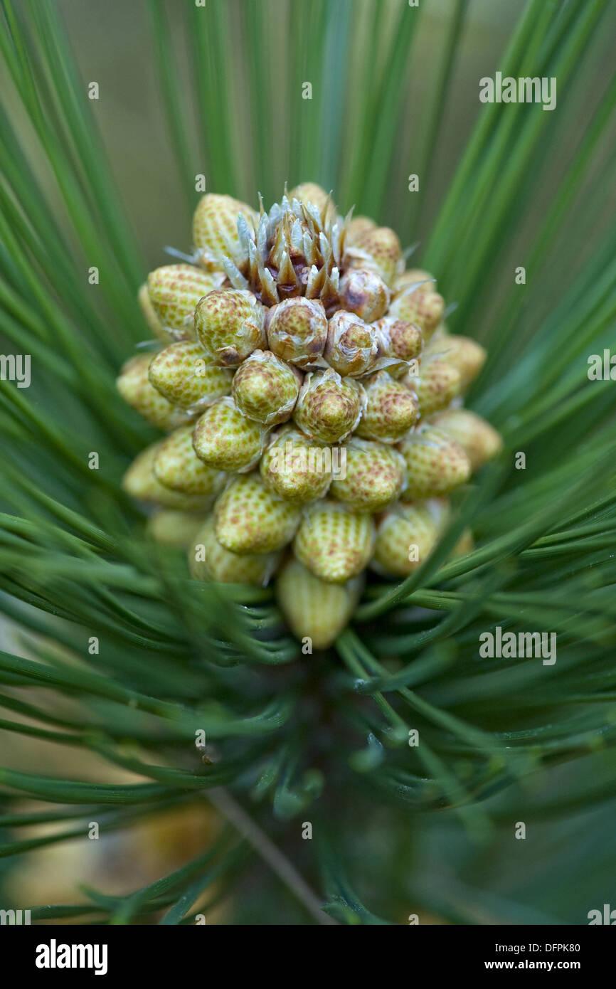 balkan pine, pinus heldreichii - Stock Image