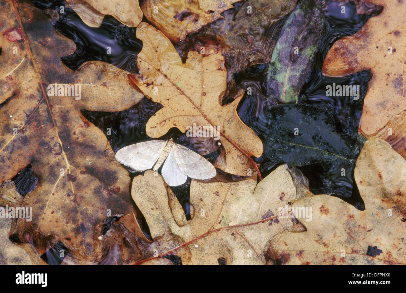Winter Moth (Operophtera brumata) and oak leaves - Stock Image