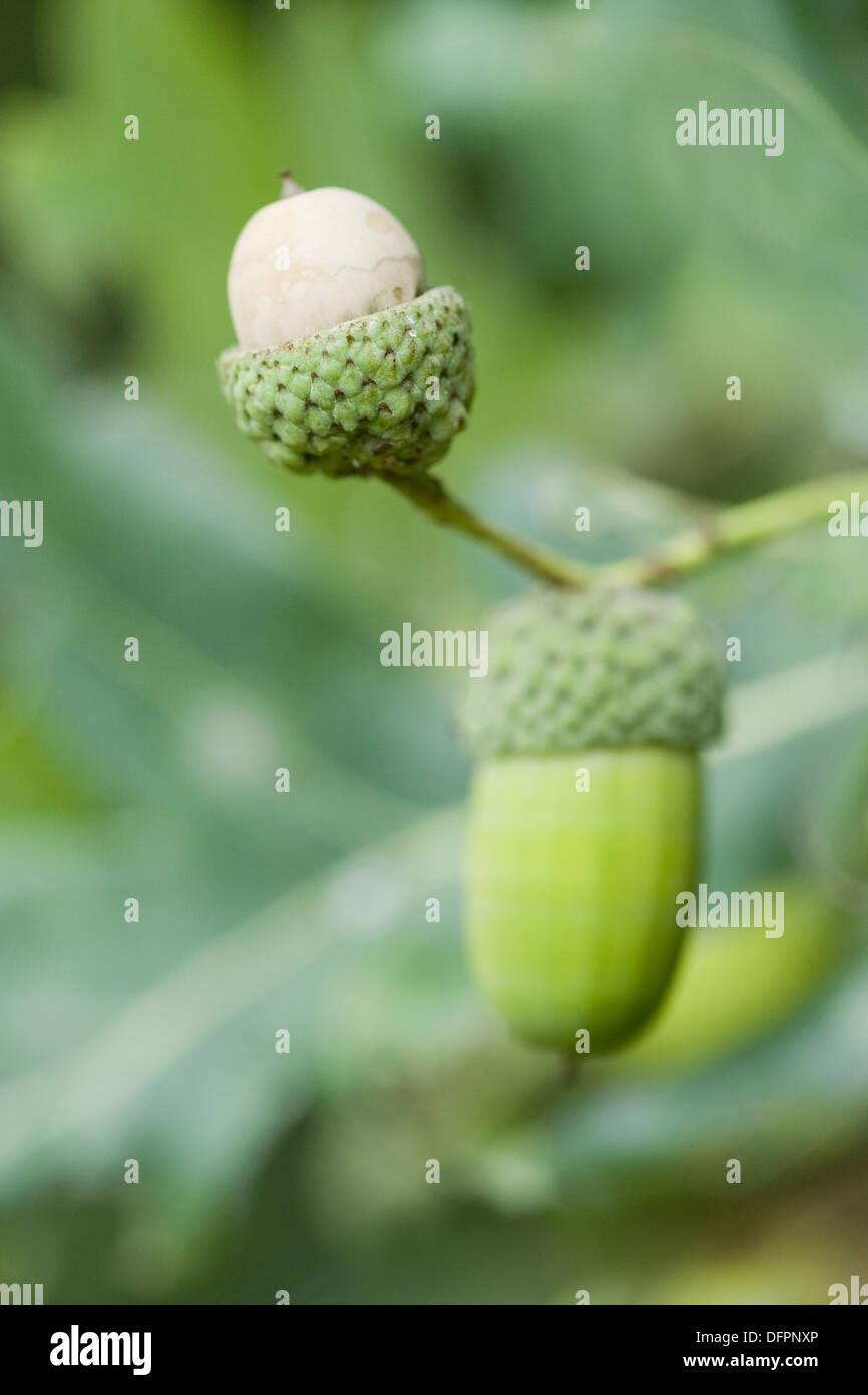 common oak, quercus robur - Stock Image