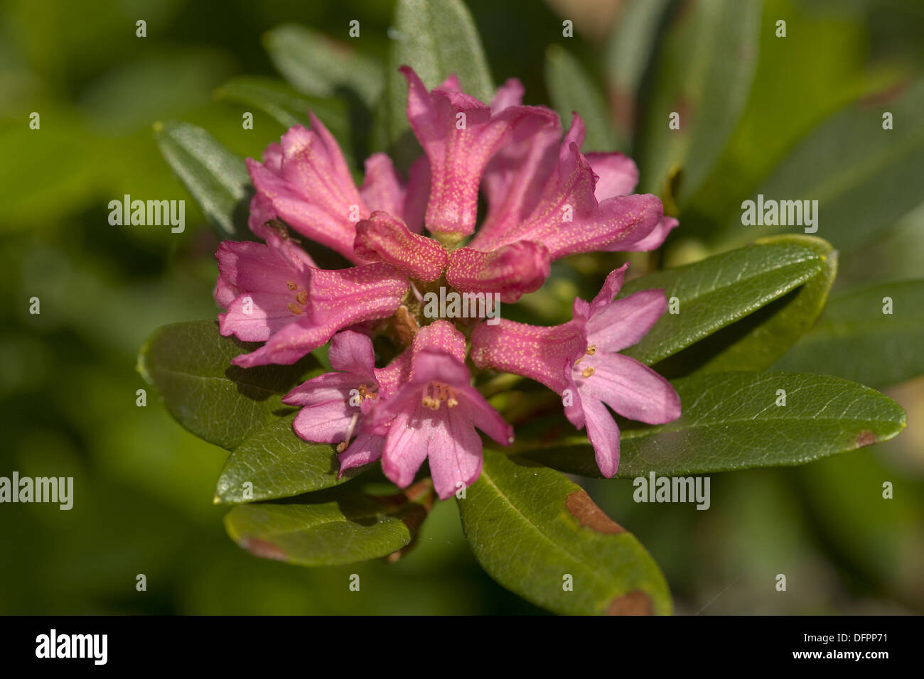 rusty-leaved alpenrose, rhododendron ferrugineum - Stock Image