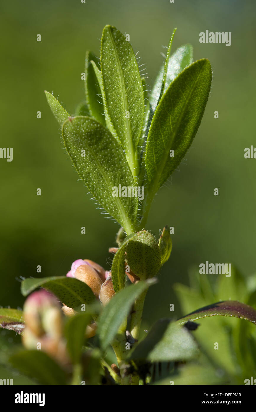 hairy rhododendron, rhododendron hirsutum - Stock Image