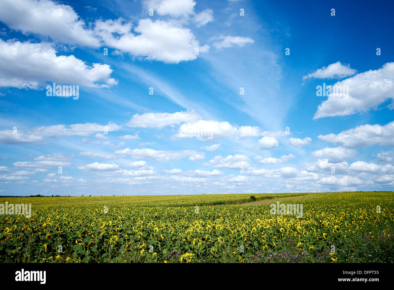 Pays de Langres, France. Langres landscape with sunflowers Stock Photo