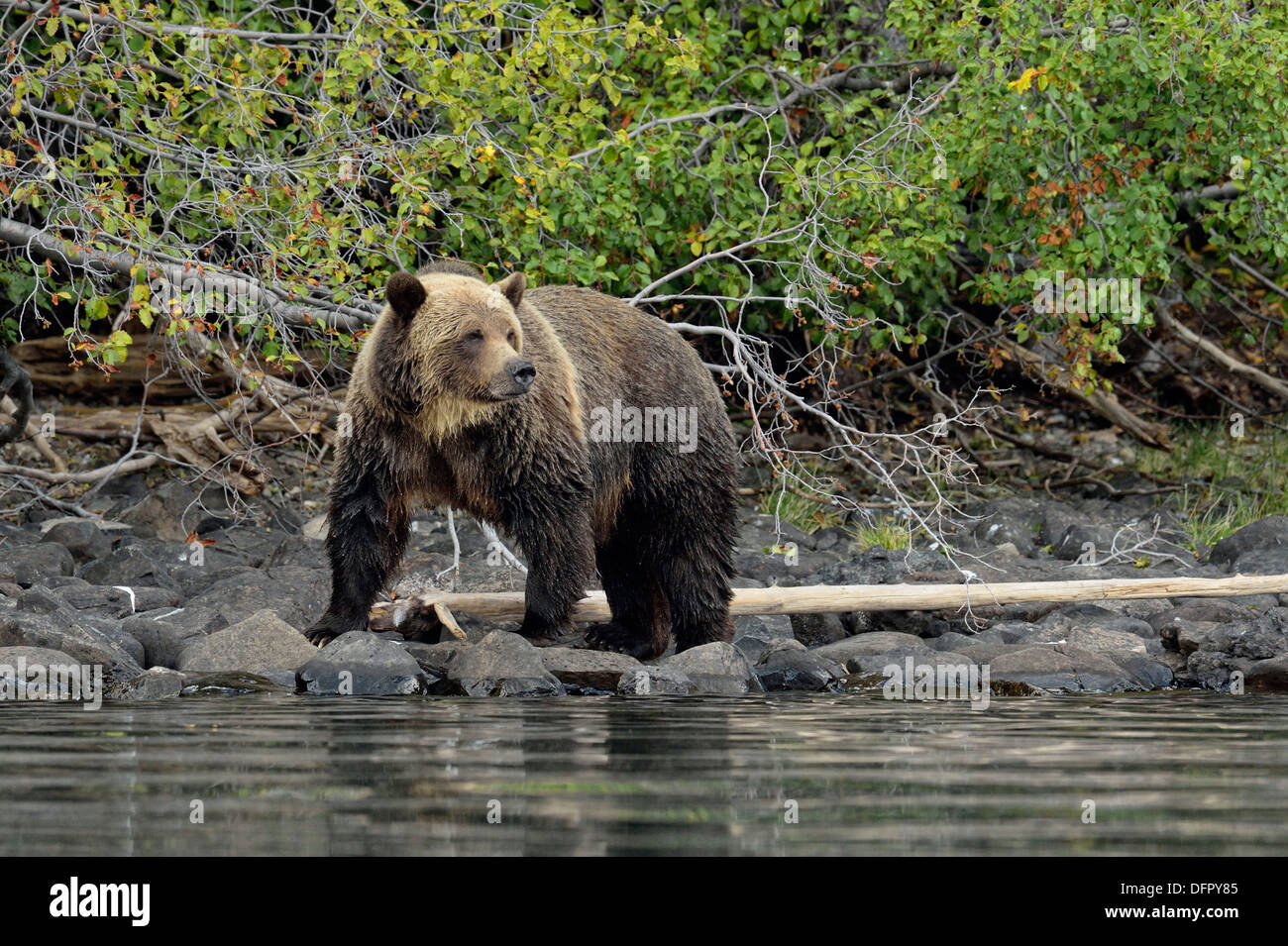 Grizzly bear, Ursus arctos, Hunting spawning salmon along shoreline of a salmon river, Chilcotin Wilderness, BC Interior, Canada - Stock Image