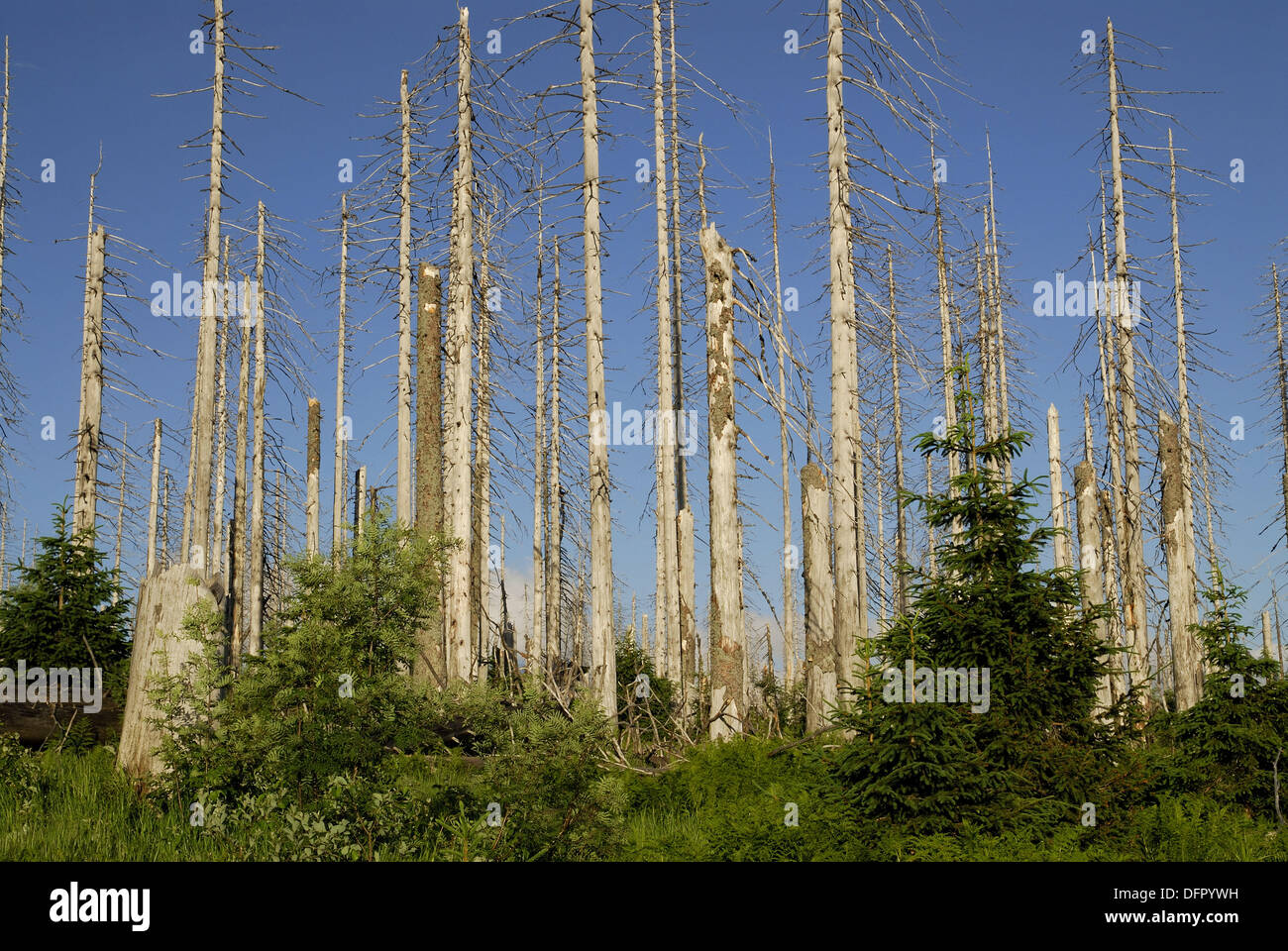 Dying of Forests, National Park Bavarian Forest, Gerrmany Stock Photo