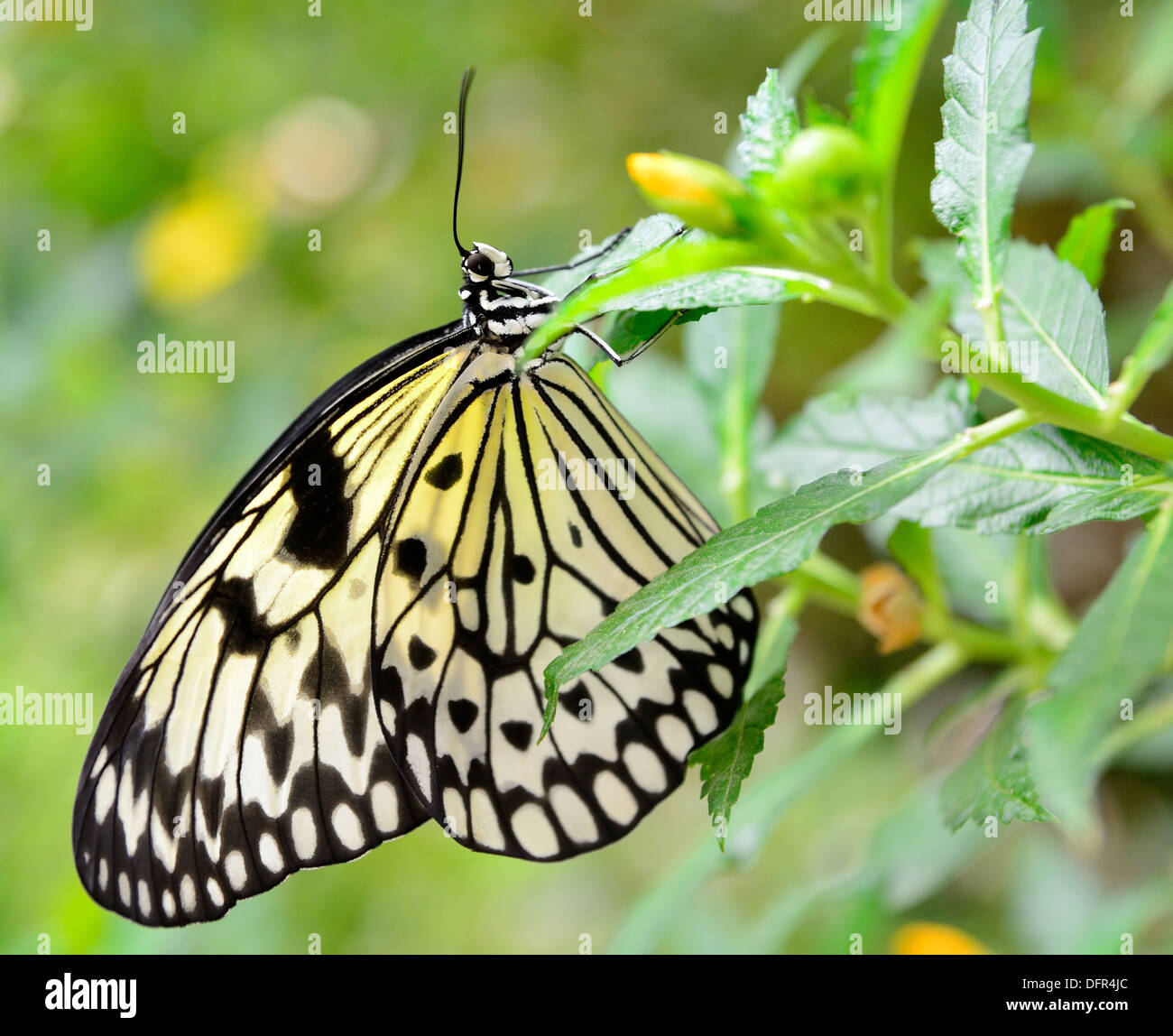 Rice paper butterfly (Idea leuconoe) sitting on the green plant. - Stock Image