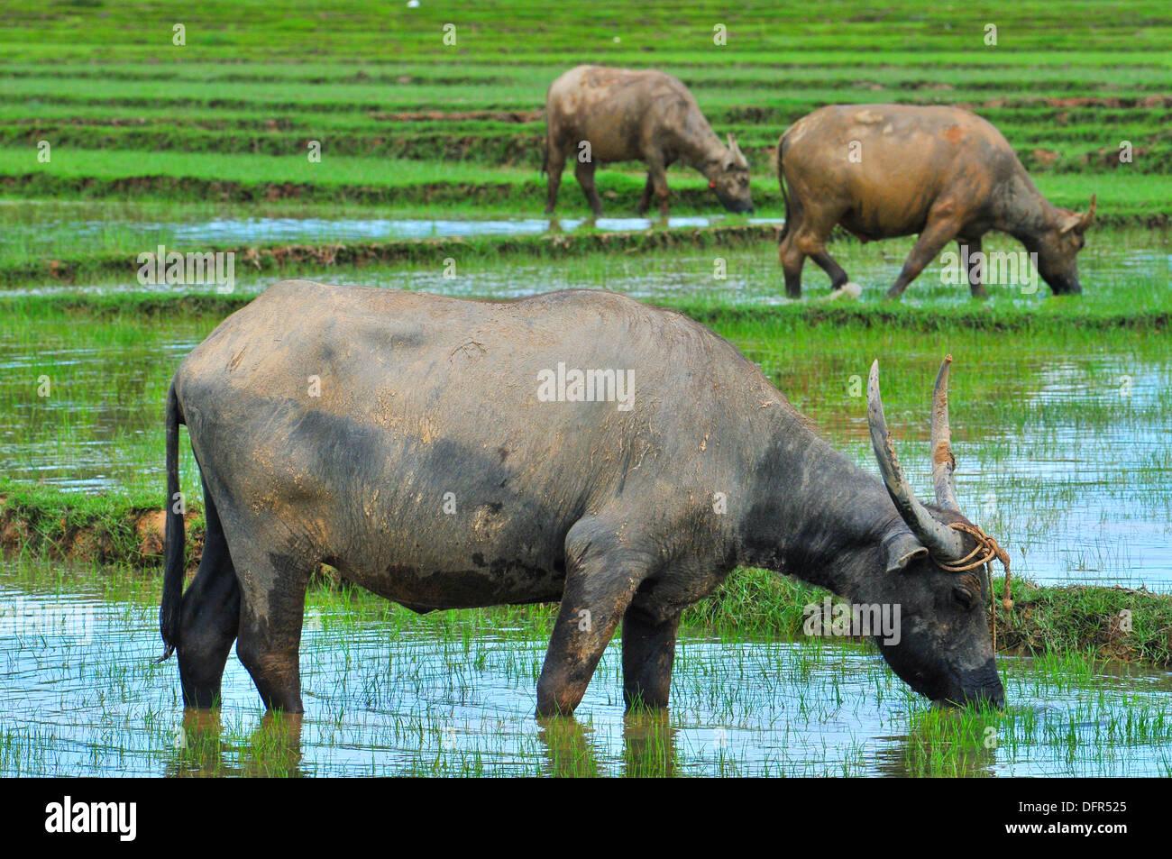 Domestic animals in Thailand - Three Asian water buffaloes feeding in the rice field (Koh Yao Noi, Phang-Nga) - Stock Image