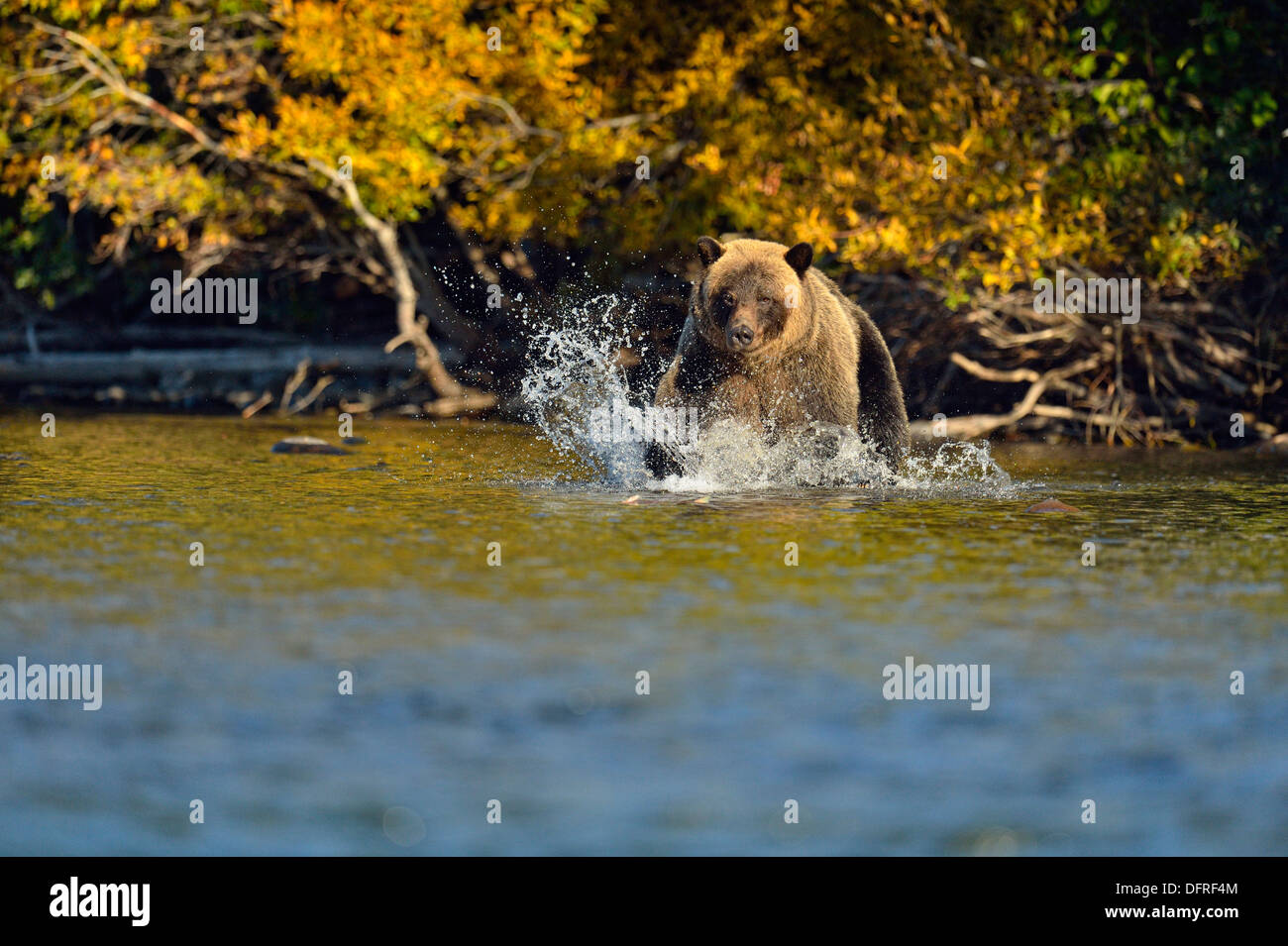 Grizzly bear, Ursus arctos, Catching spawning sockeye salmon in a salmon river, Chilcotin Wilderness, BC Interior, Canada - Stock Image