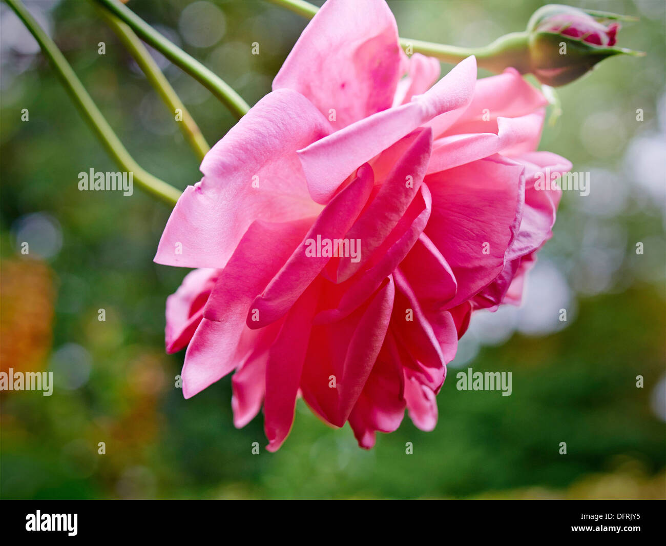 Pink roses flowering in my garden during autumn. - Stock Image