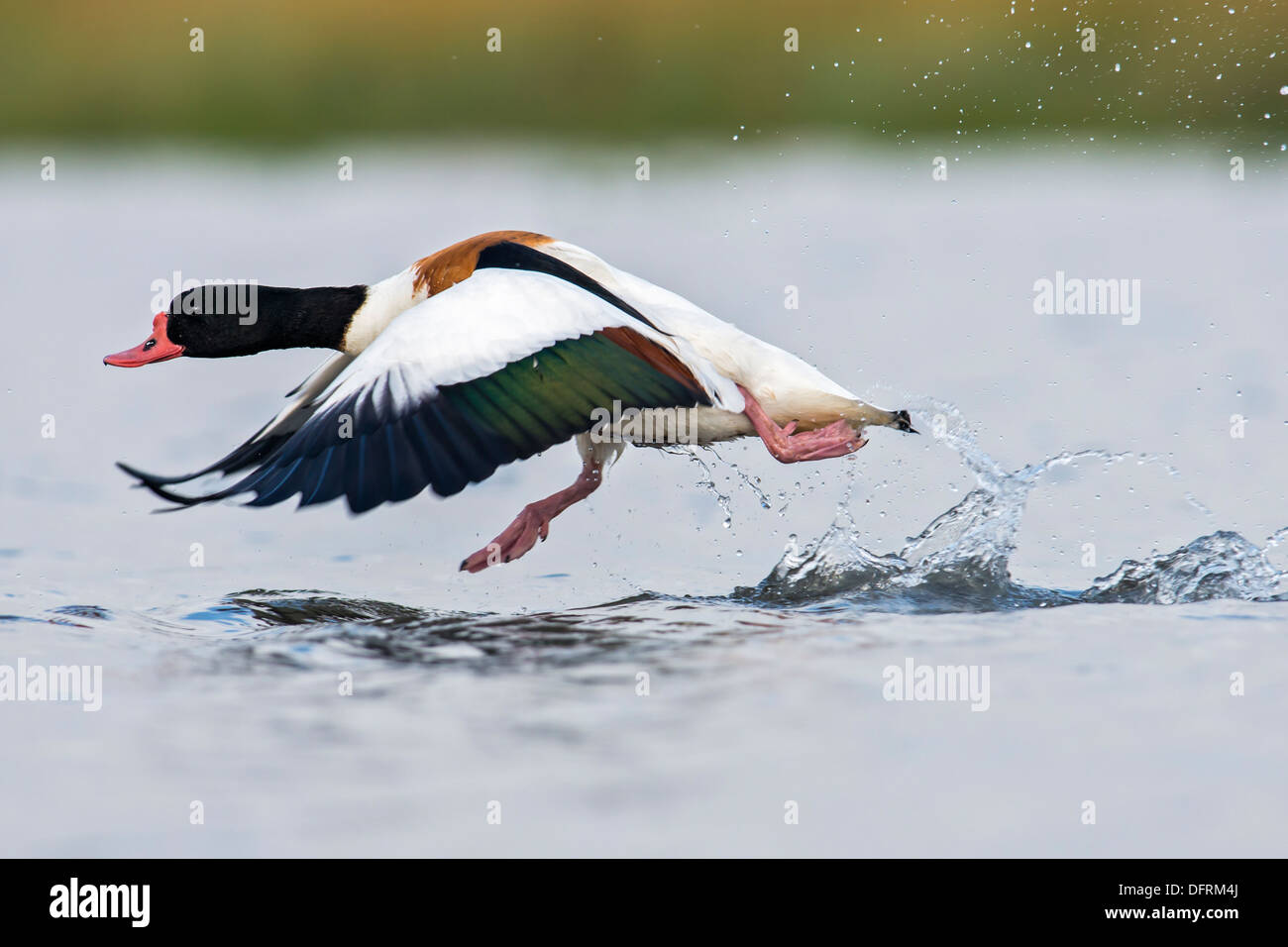 Shelduck, running across water surface to aid takeoff. - Stock Image