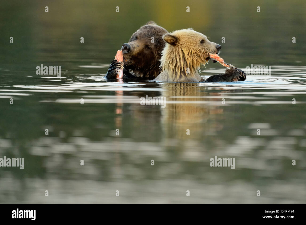 Grizzly bear Ursus arctos first year white cub and brown mother feeding on salmon Chilcotin Wilderness BC Interior Canada - Stock Image