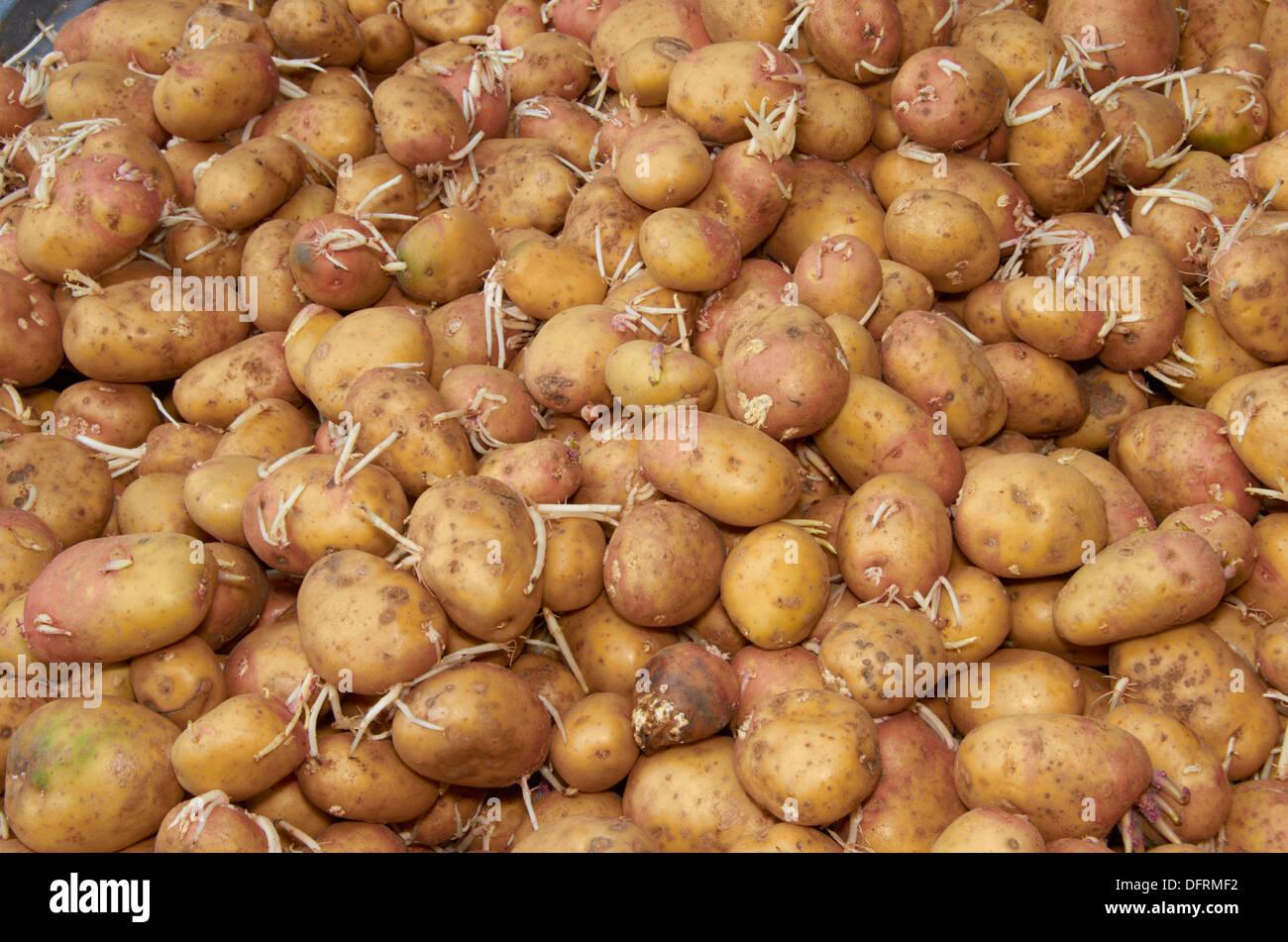 Old potatoes at a food bank. - Stock Image