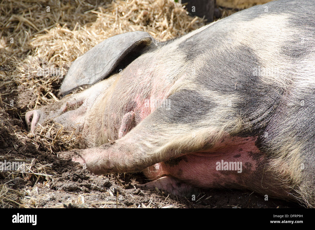 Head of a pig sleeping on the ground in mud - Stock Image