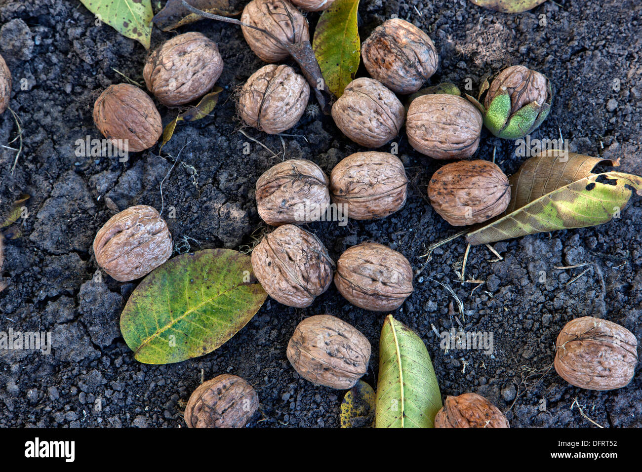 Mature English Walnuts shed from branch, harvest time. - Stock Image