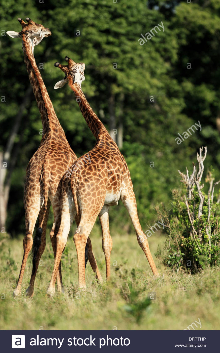 Giraffe males fight all year round  This is also known as ´necking´ where one male lowershis head and swings it towards the - Stock Image