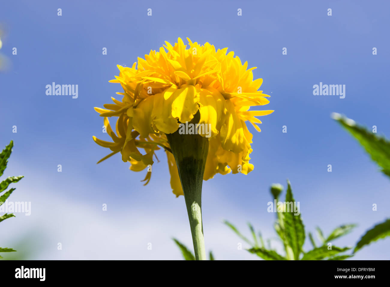 Marigolds Flowers And Blue Sky In Garden Thailand Stock Photo