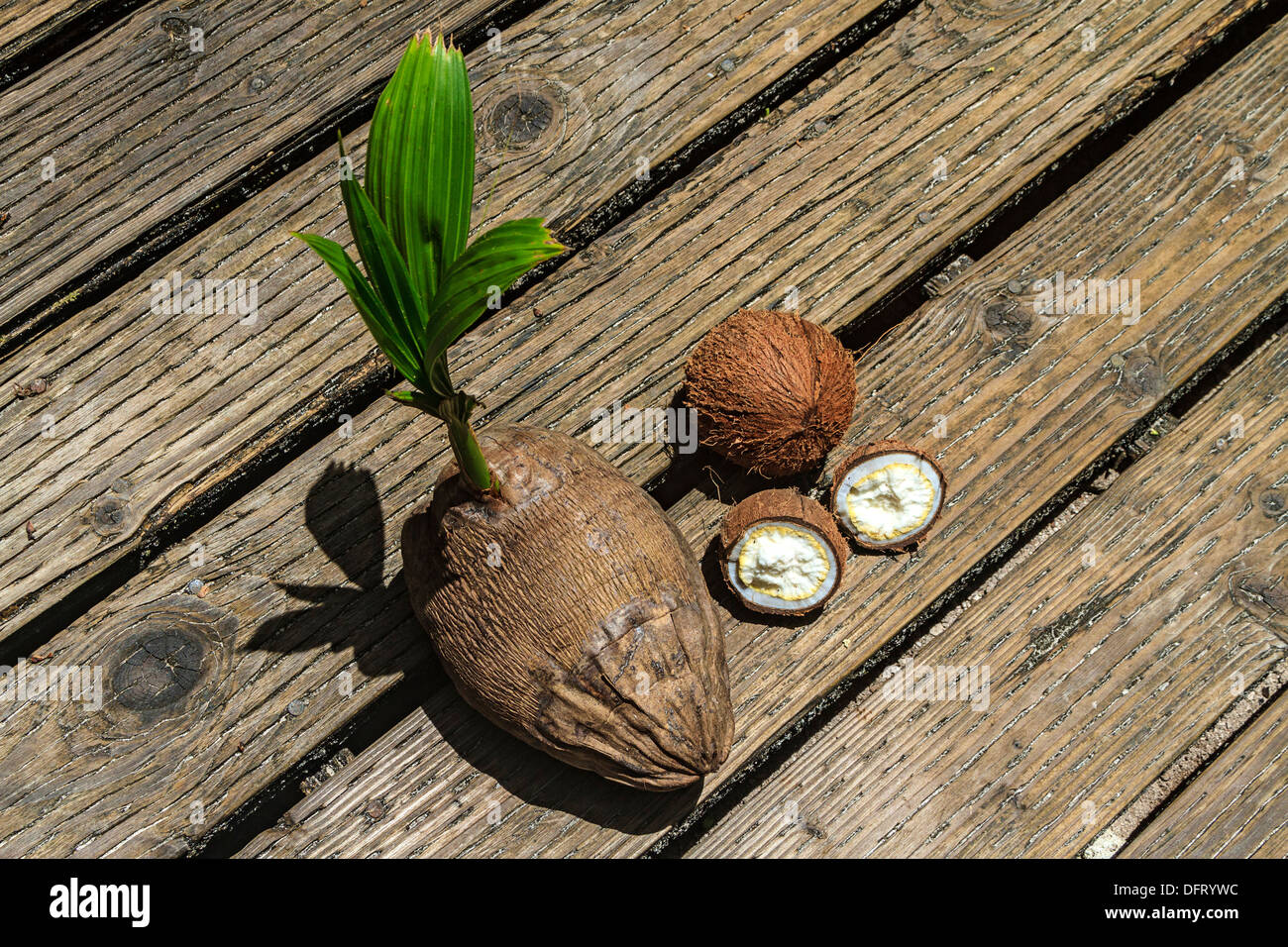 Various stages of coconut: coconut with young sprout sits next to husked coconut and opened coconut with endosperm Stock Photo