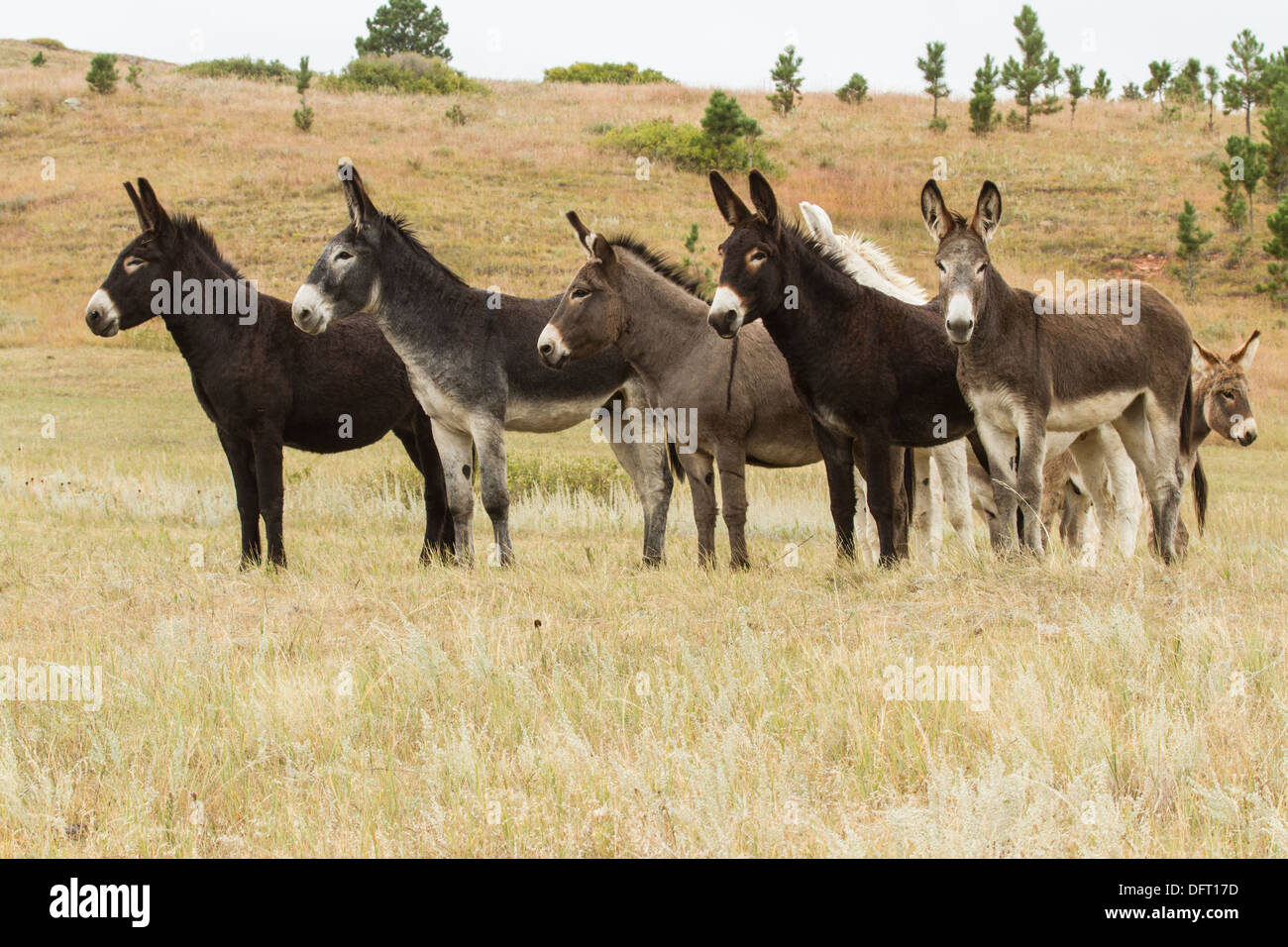 Begging mules at Custer State Park in South Dakota. - Stock Image