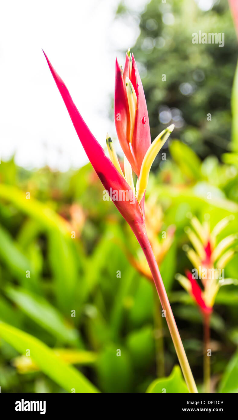 Heliconia flower blossom in garden on flowers at backgroud - Stock Image