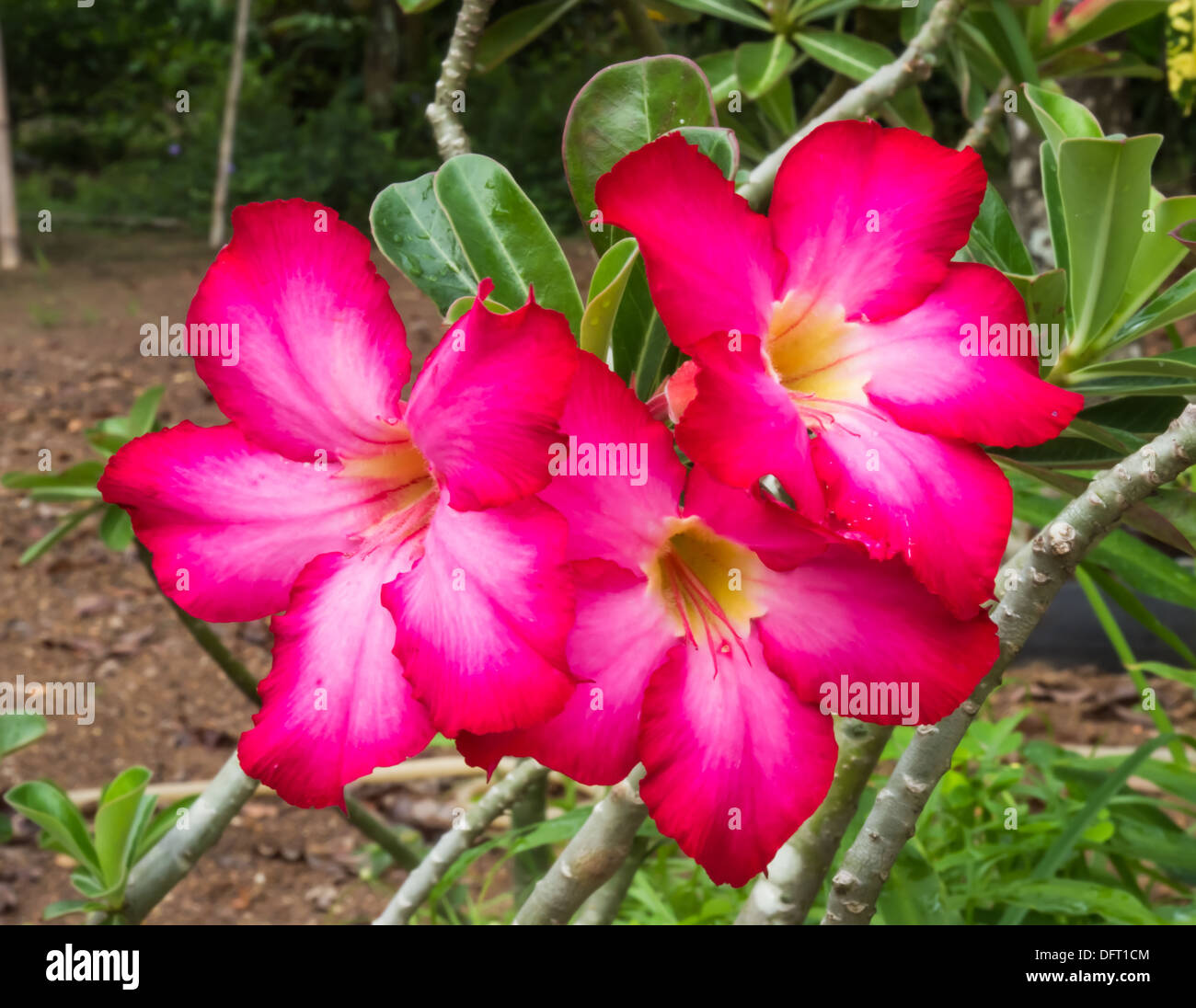 27f7a821df68 Red desert rose flower close up and flowers at backgroud - Stock Image