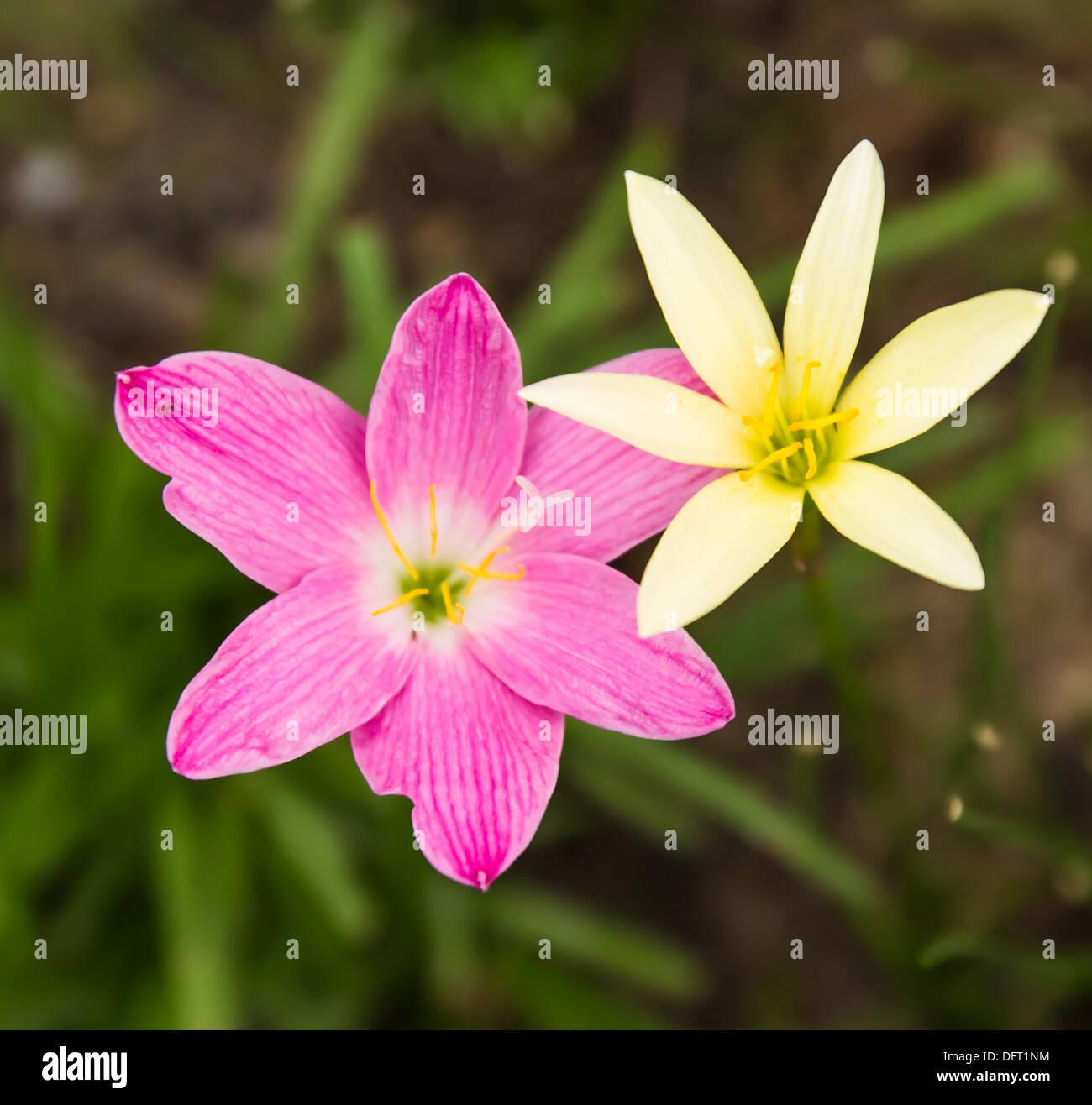 Pink canna lily flowers stock photos pink canna lily flowers stock pink and yellow rain lily zephyranthes stock image izmirmasajfo