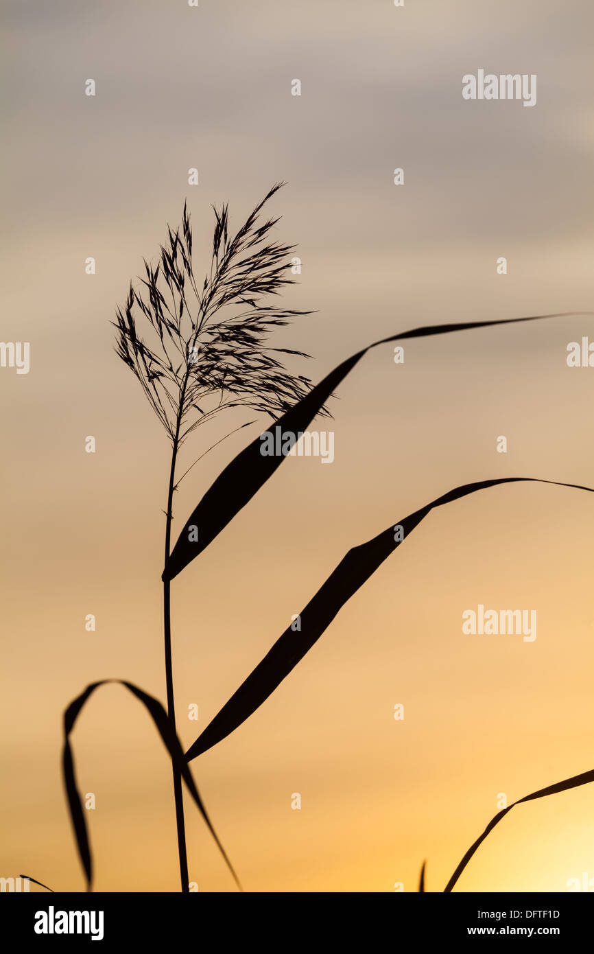 Beautiful reed silhouette - Stock Image
