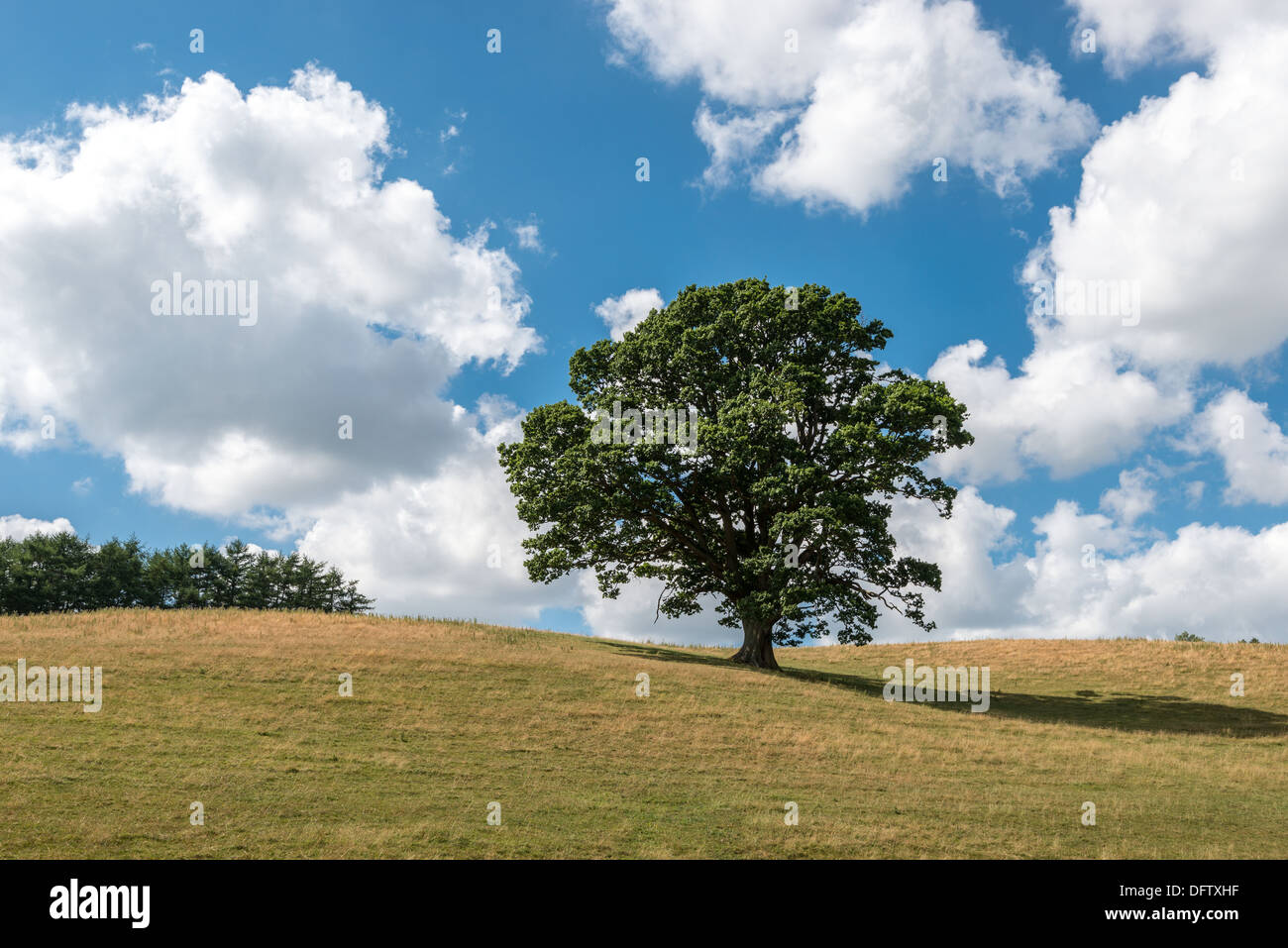 OAK TREE IN HIGH SUMMER ON GRASS COVERED HILLS WITH BLUE SKY AND WHITE CLOUDS. HEDGE AT TOP OF HILL. UK PORTRAIT FORMAT - Stock Image