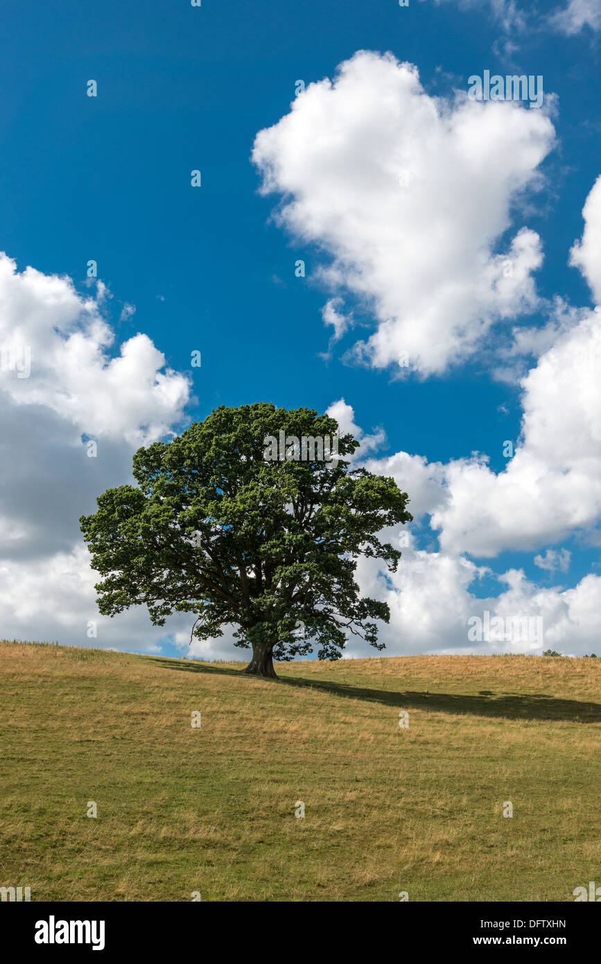 OAK TREE IN HIGH SUMMER ON GRASS COVERED HILLS WITH BLUE SKY AND WHITE CLOUDS UK PORTRAIT FORMAT - Stock Image