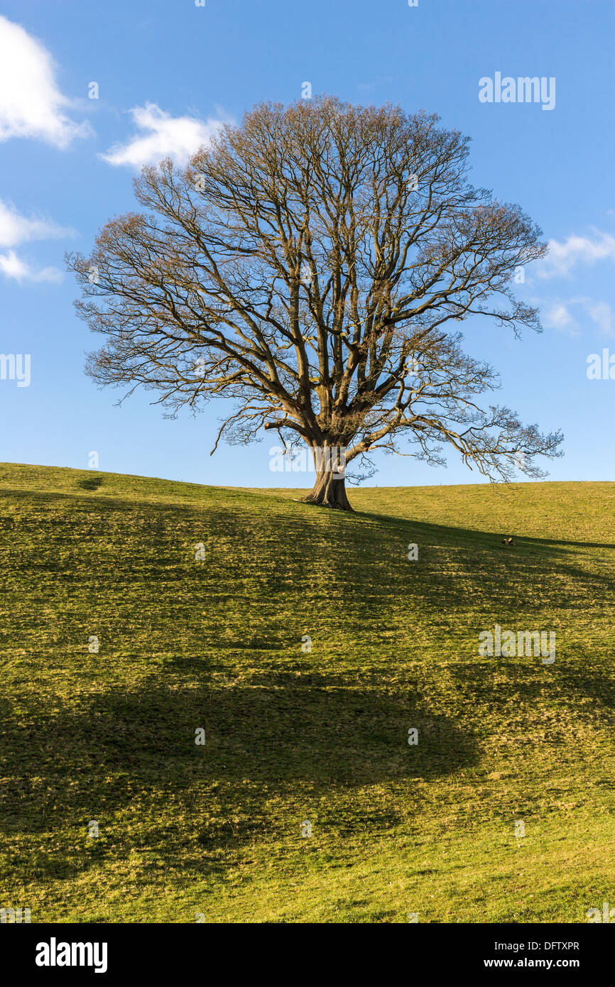 OAK TREE IN WINTER SOUTH WALES WITH BARE BRANCHES And LONG SHADOWS AGAINST BLUE SKY UK Stock Photo